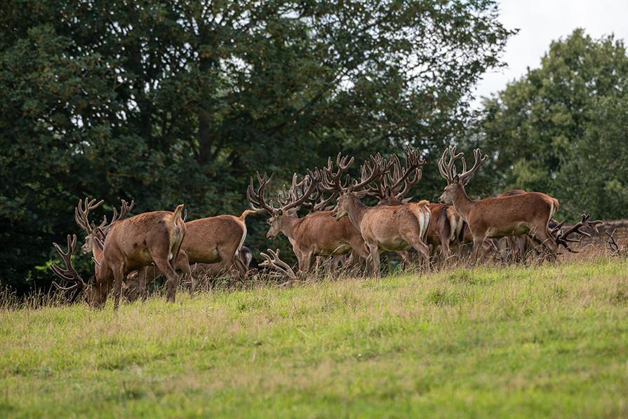 Red Deer 11