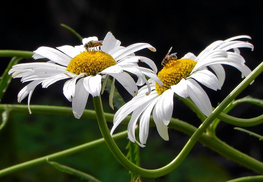 Daisies & Hoverflies