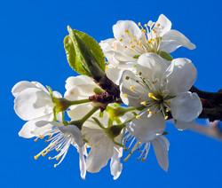 Pear Tree Blossom & Leaf Bud
