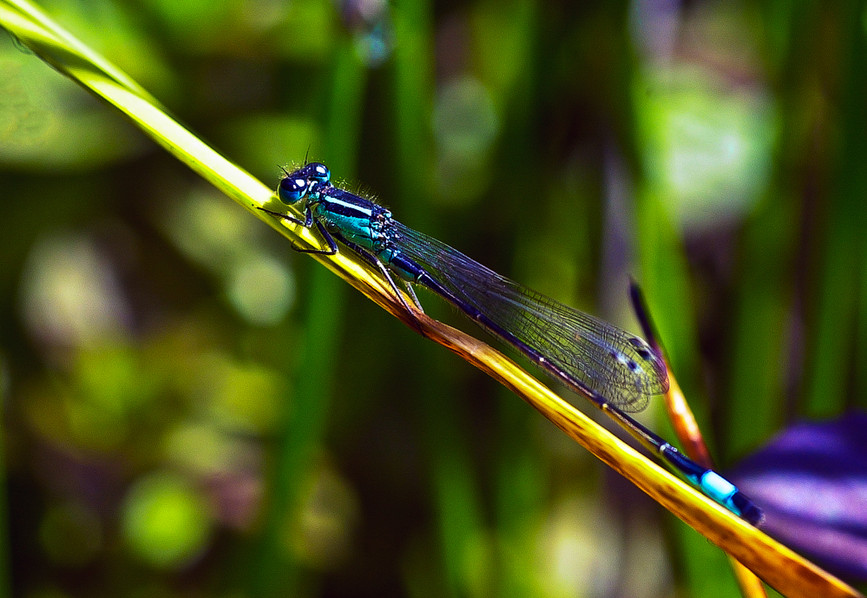 Blue-tailed Damselfly (Ischnura elegans) 02
