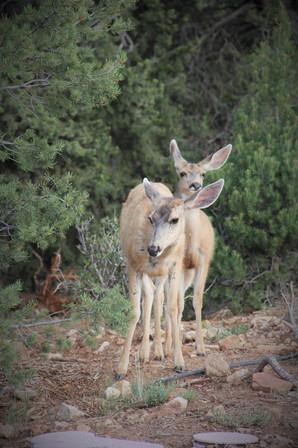 グランドキャニオンでは高い確率で鹿と遭遇します