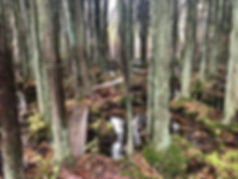 Batona_woods.jpeg