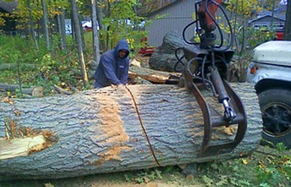 Cutting and removing a large tree