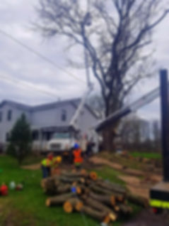 Trimming branches from a large tree using a bucket truck