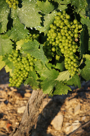 Cachos de uva Moscatel Galego Branco