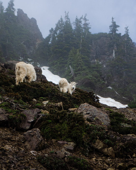 Marla Manes Photography goats in Olympic National Park