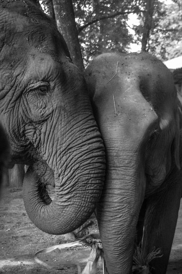 Marla Manes Photography Elephants at Elephant Nature Park