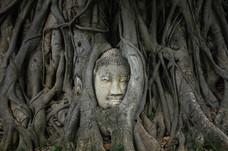 buddha head at ayutthaya