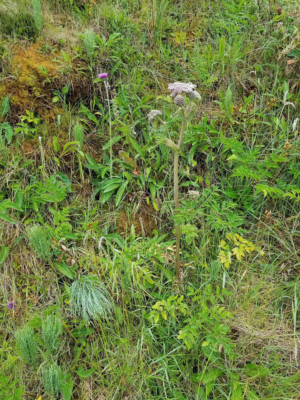 3.Doolin Pt roadside herbs: valerian, horsetail, plantain, dandelion, sedge grass and maybe some figwort about to bloom (above the valerian blossom).