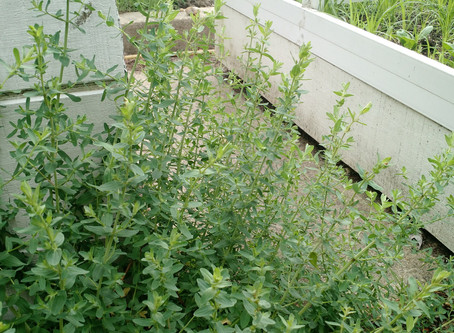 St. John's wort and oral contraception.
