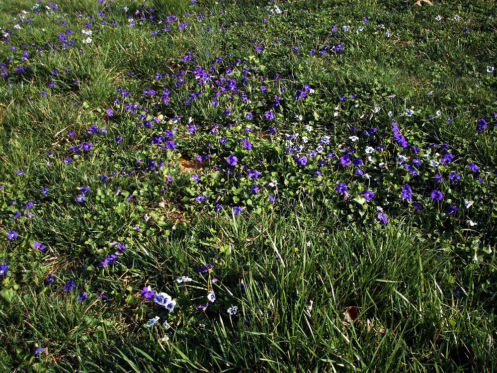 violets in the yard