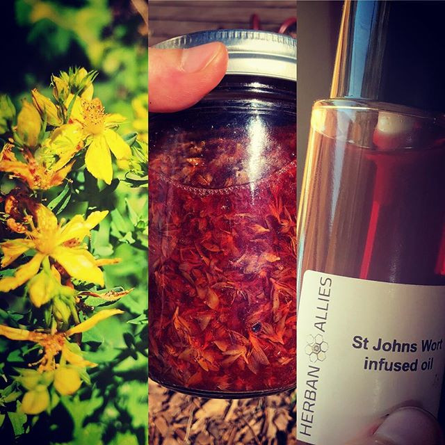 St Johns Wort flowers, infusion and finished oil