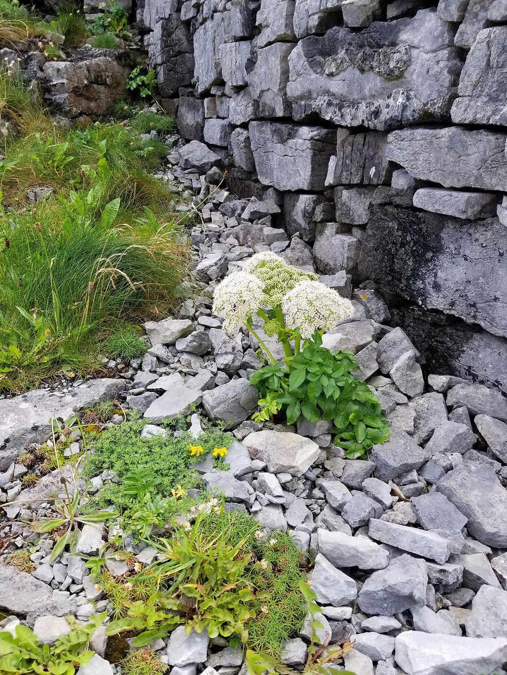 Inishmore Island, herbs angelica, plantain, dandelion and thyme by bronze age ruins of Dun Aonghasa