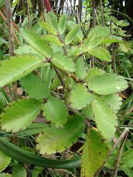 Kalanchoe pinnata (Miracle leaf)