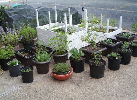 Starting a Therapeutic Herb Garden