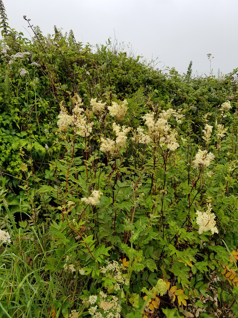 4.Doolin Pt roadside herbs: Meadowsweet, valerian, stinging nettles and sedge grass. Maybe there is greater burnet at the bottom left.