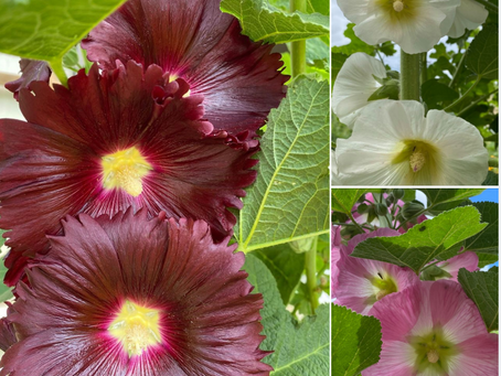 "Guest blog. ""Celebrating Hollyhocks"", by Christopher Hobbs"