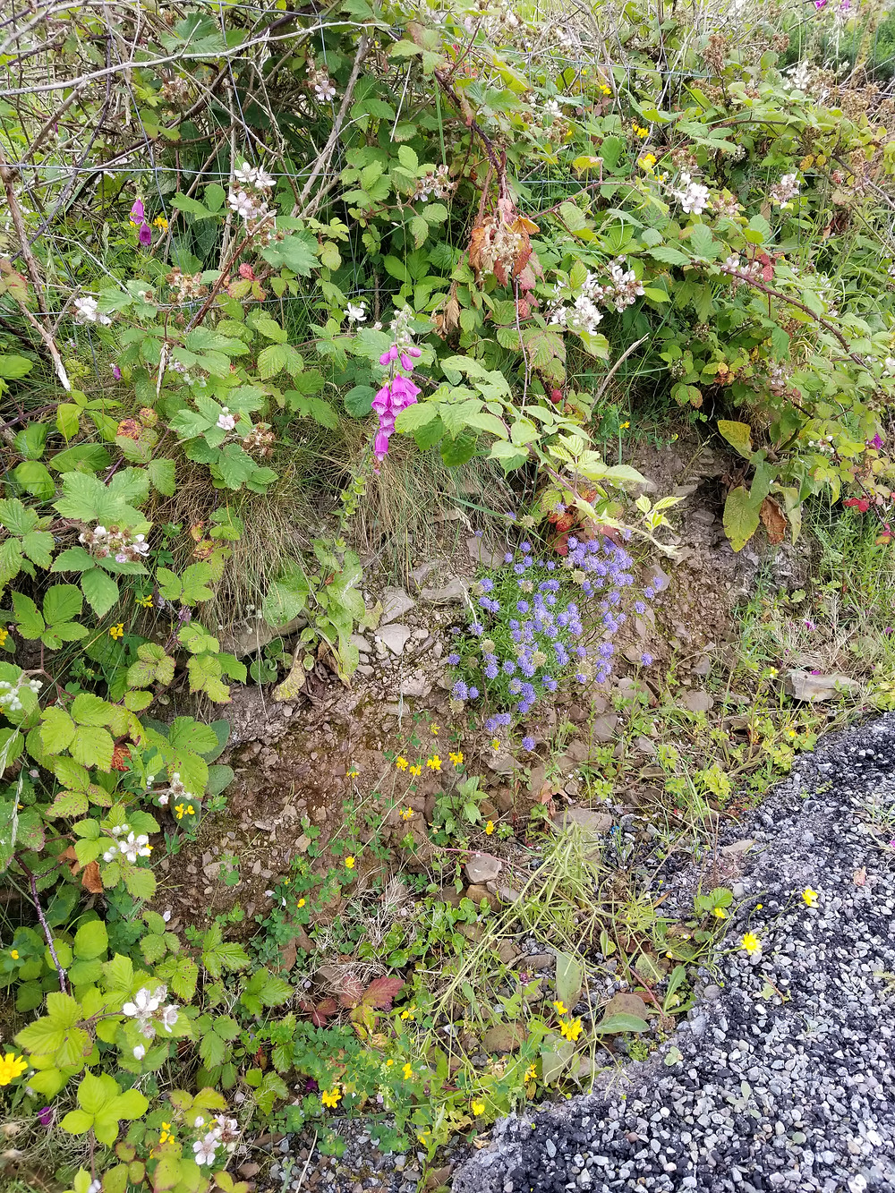 Dingle Peninsula, Slea Head Drive: roadside herbs, foxglove, Birds-foot-trefoil (Lotus pedunculatus) and others. I do not know the name of the blue flowered plant.