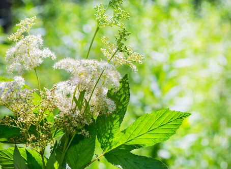 Meadowsweet -- by any other name?