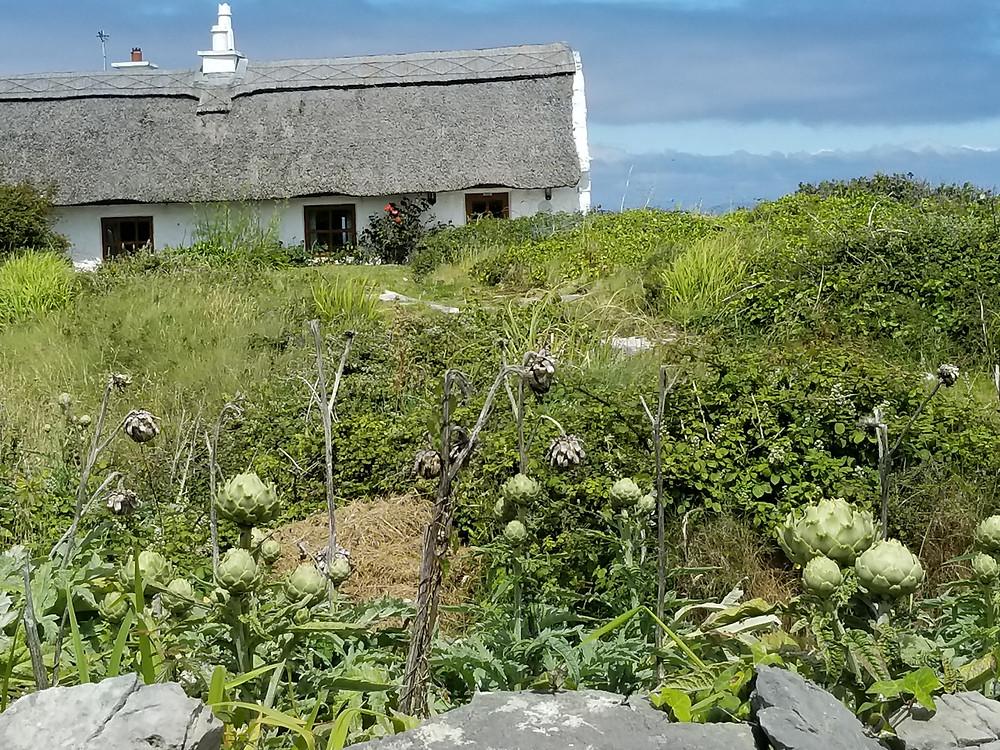 Inishmore Island_ artichoke crop and brambles.