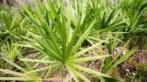 Saw palmetto for use in men's health.