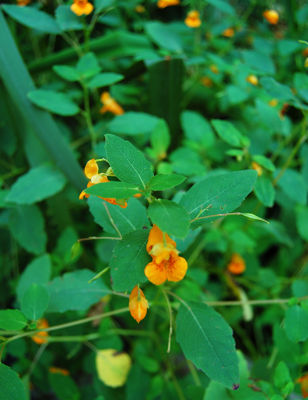 jewelweed in flower