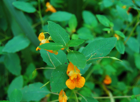 Help! Are there poison ivy remedies?