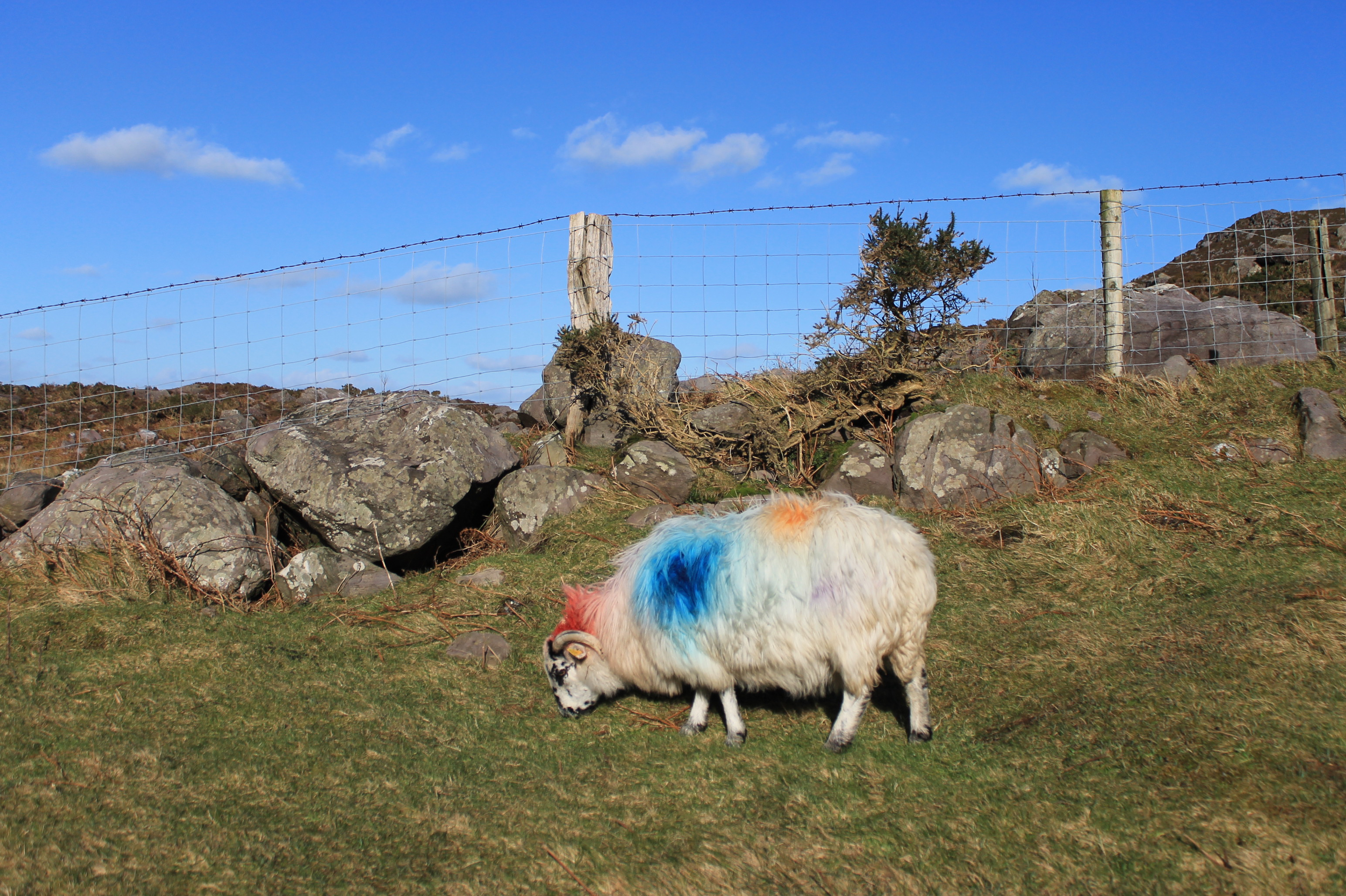 Coloured Sheep in Kerry