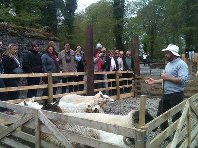 Irish sheep dog demonstrations for family