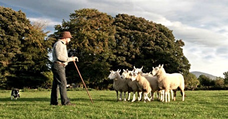 Wicklow sheep dog demonstration