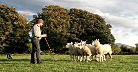 Wicklow sheep dog demonstration