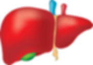 liver-2934612_640.png