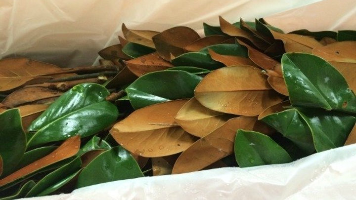 Southern Magnolia (Bunched)