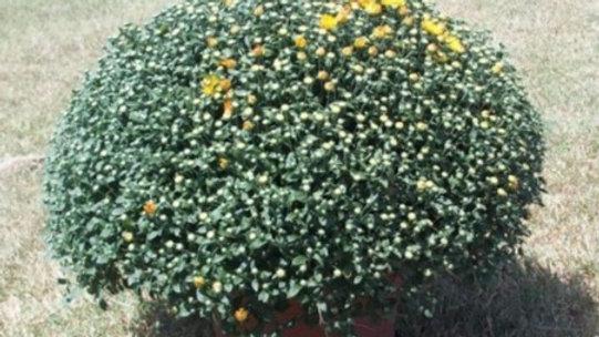 """Fall Garden Mum 12"""" Pot"""