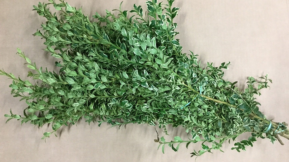 Oregonia Variated Boxwood(Bunched)