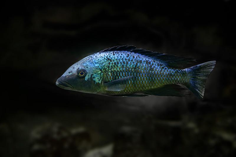 Fossorochromis-rostratus-copy