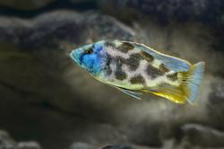 Nimbochromis-Livingstoni-copy