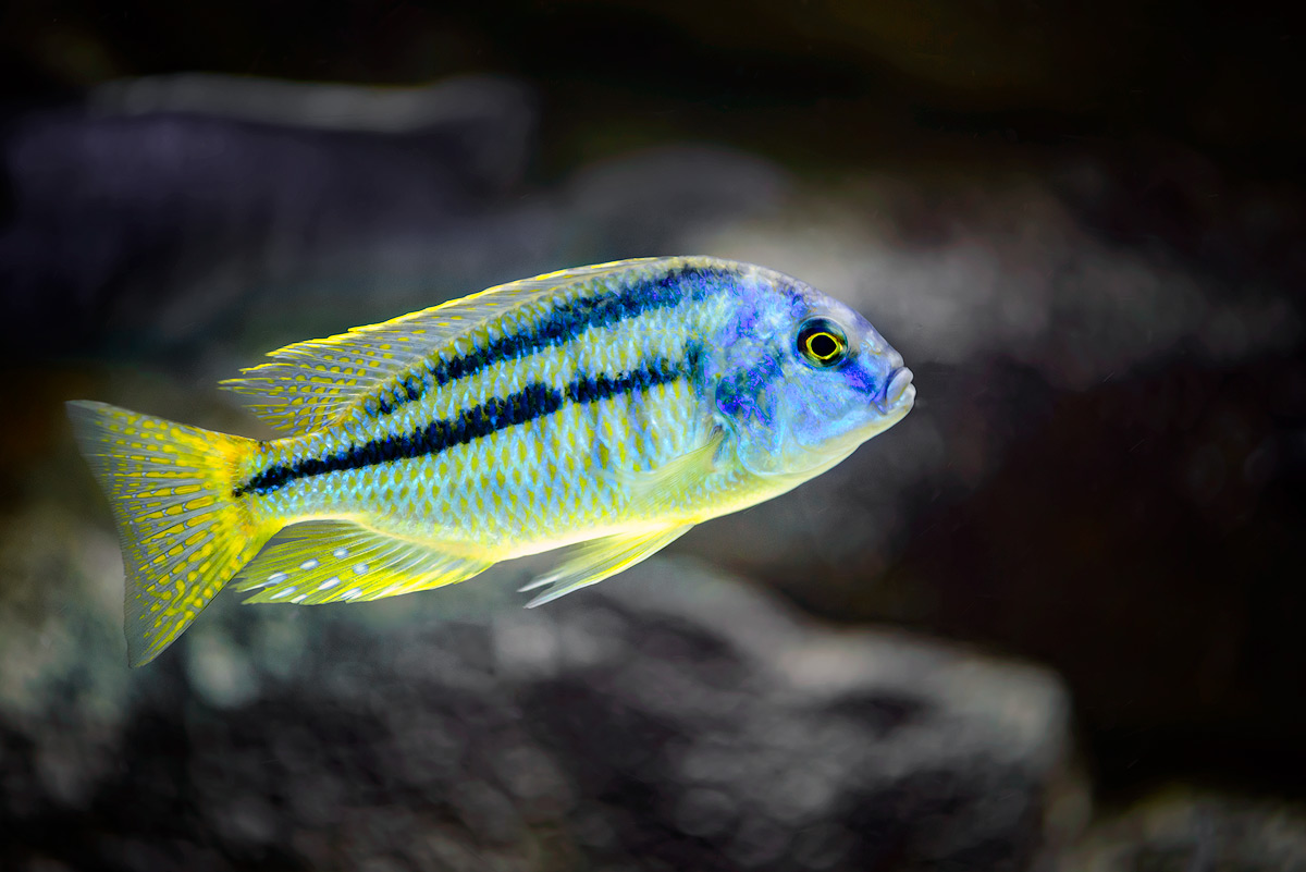 Chilotilapia-Rhodesii-copy