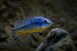Protomelas-fenestratus-steveni-eastern-c