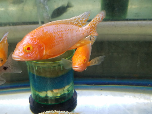 Aulonocara spec. Fire Fish ALBINO