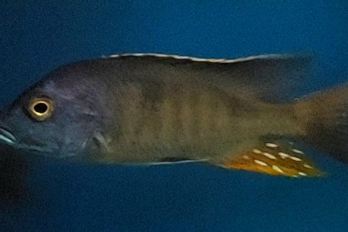 Otopharynx sp nova blue long nose