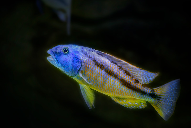 aristochromis-christyi-copy (1)