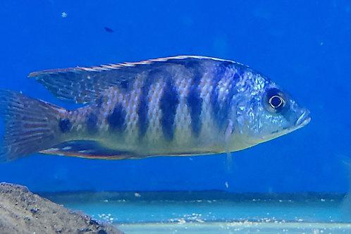 Haplochromis Taiwan Tiger