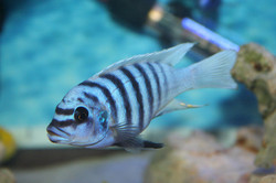 metriclima sp. zebra Maison