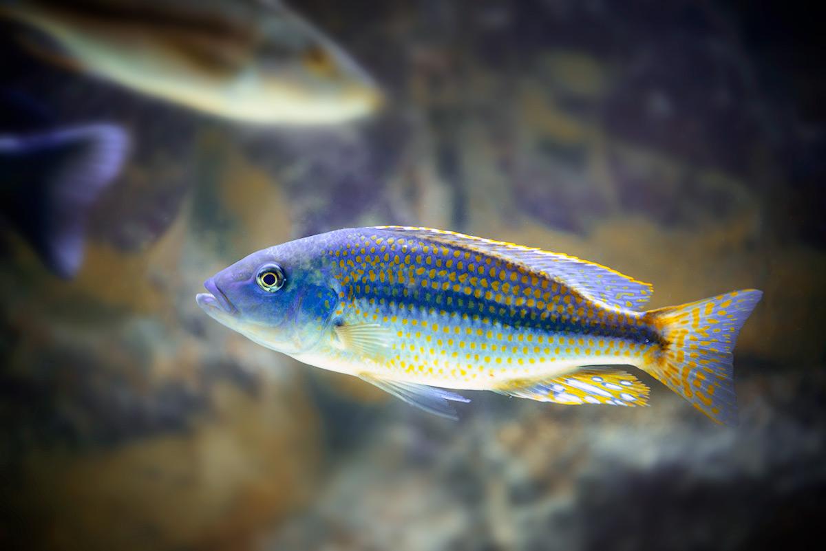 Dimidiochromis-Kiwinge-copy (1)