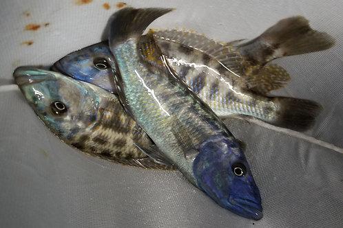 Tyrannochromis nigriventer F1