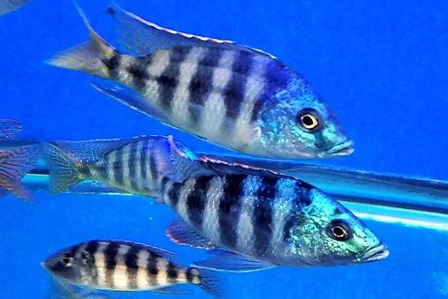 """Placidochromis johnstoni """"Kachimungi"""""""