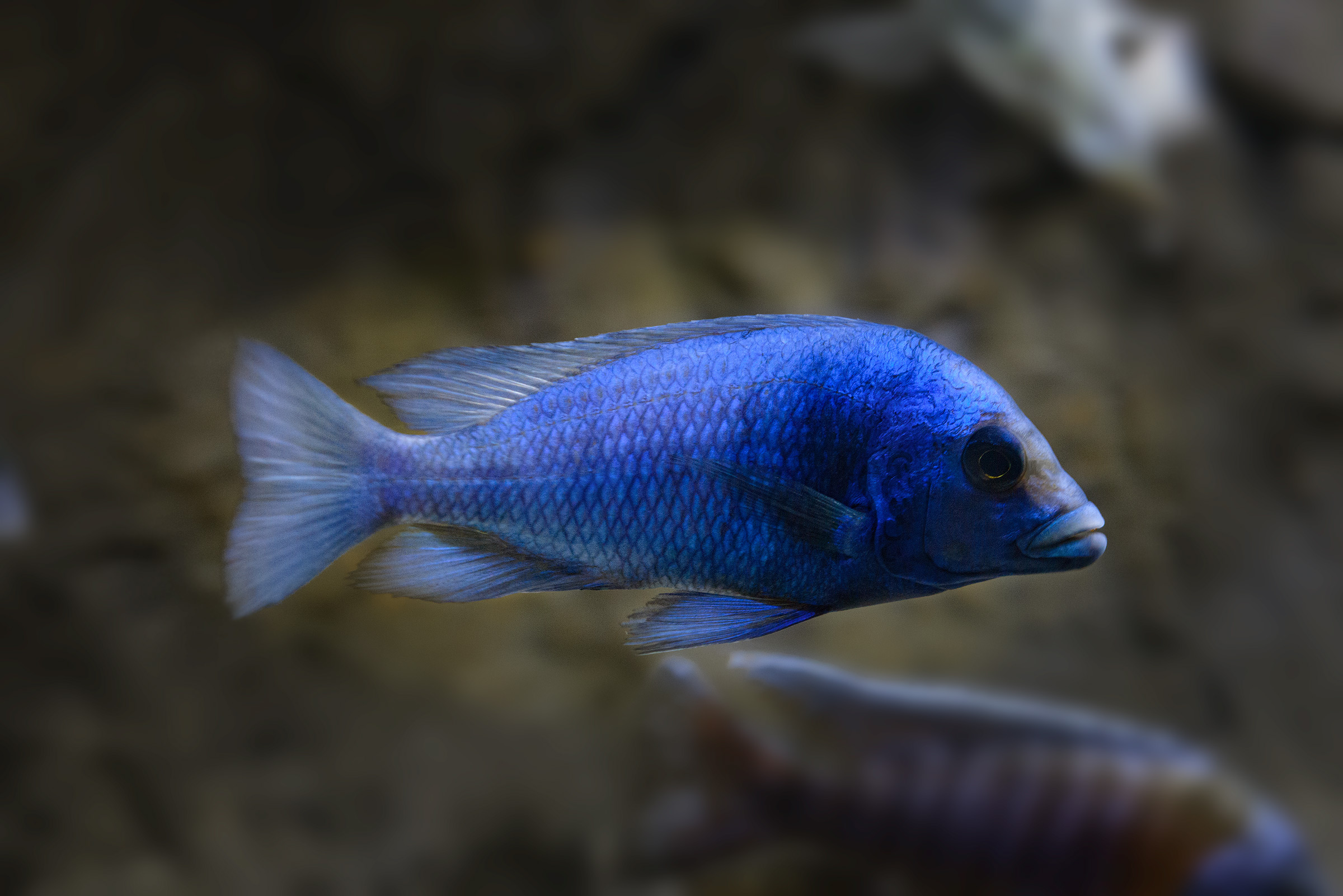 Placidochromis-Giselle-copy