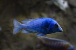 Placidochromis-Giselle-copy