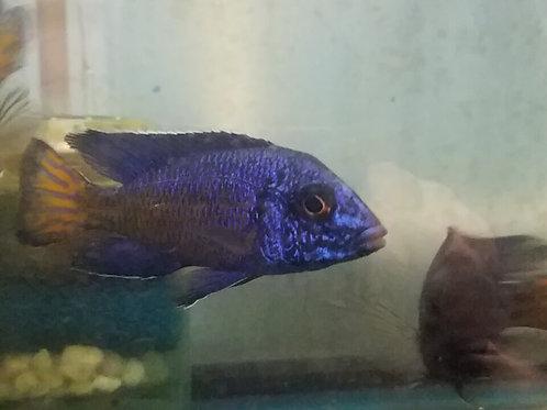 Aulonocara stuartgranti Ngara Flametail
